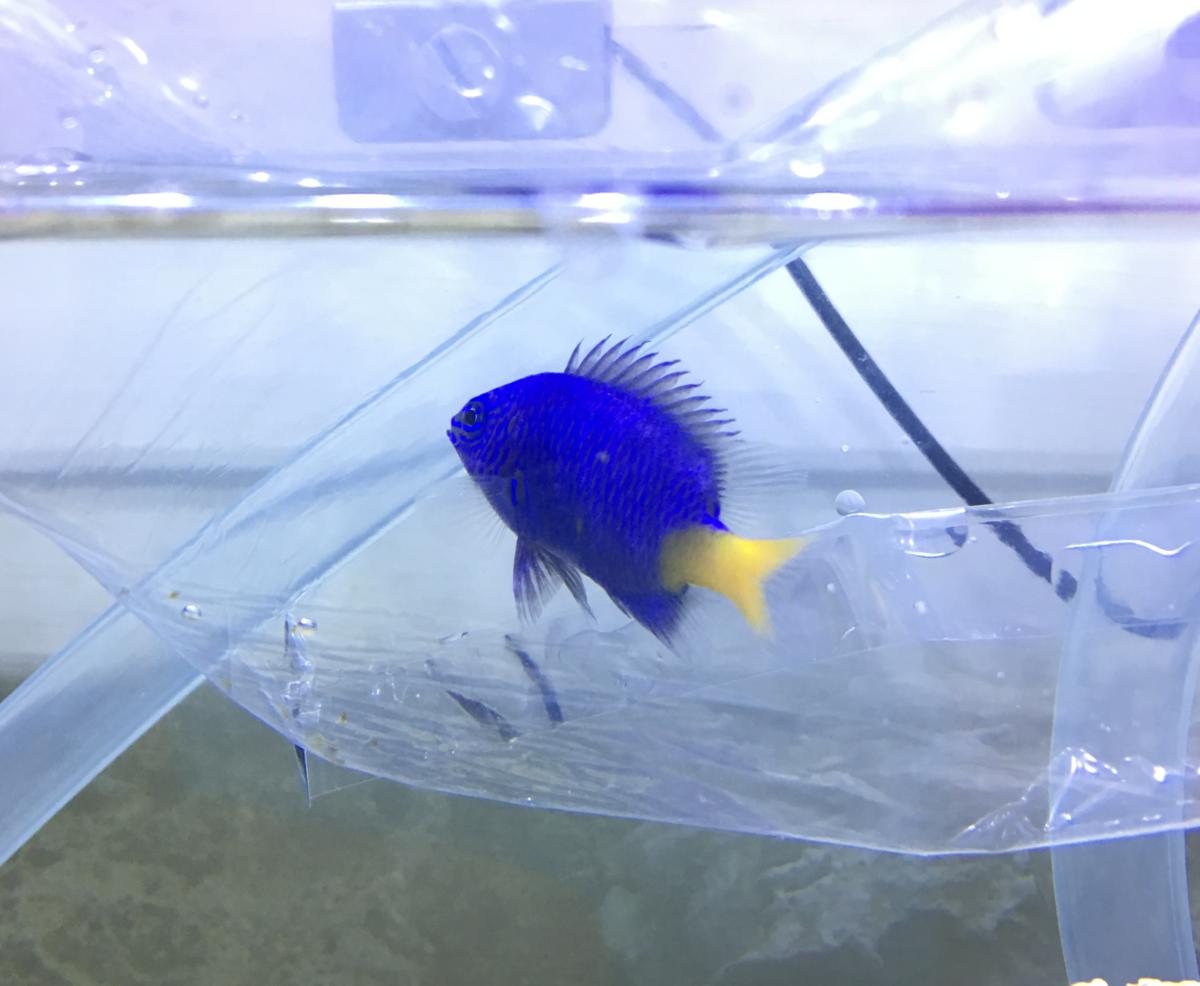 剛來的黃尾藍雀鯛